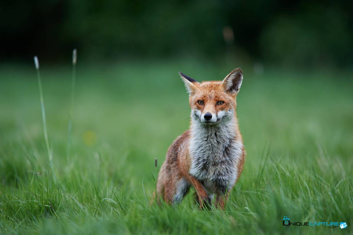 Buckingham Foxes Uniquecapture